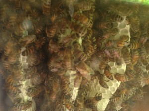 See the bees actually building their home inside the hive